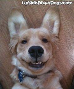 Upside Down Golden Retriever Puppy