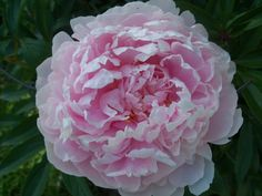 One of my Peony flowers....Pink!!!