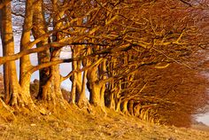 Beech Trees - Draycott Sleights, Somerset, UK