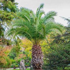 Phoenix roebelenii /'Mekong/' 7 cm pot rare palm seedling