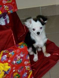 Rocky Chihuahua   Pawshake