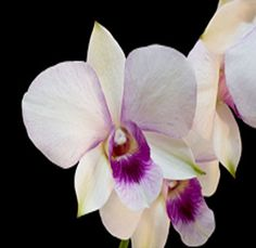 White Dendrobium Orchid; 60 stems for $139.99.  For centerpieces and bouquets?