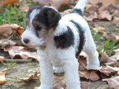 Wire Hair Fox terrier. I want one someday