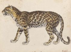 heaveninawildflower:  Study of a Leopard ( 19th century). Artist unknown. Watercolour and gouache on paper. Source -Wikimedia Dorotheum