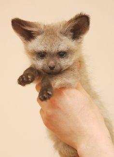 Baby Bat-Earred Fox