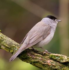 Blackcap (male). One on the bird table this morning 3.3.14