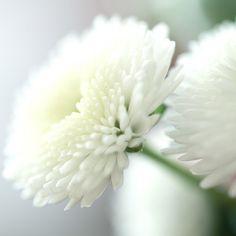 Beautiful white Pin Cushion mums.