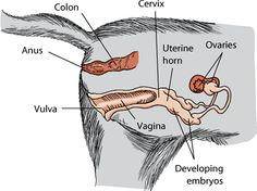 A visual guide to understanding dog anatomy with labeled diagrams female cat reproductive system diagram the line next to the anus is pointing to the colon ccuart Gallery