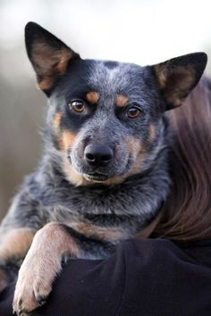 Image result for blue heeler called Mark