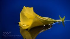 Floating - A macro shot this week of the yellow funnel shaped blossom from the Thevetia tree floating in water