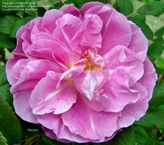 On Feb. 23, 1879, Georges-Jules Bugnet, was born in Burgandy, Fr. He created many hybrid rugosa roses including 'Therese Bugnet' (pictured here), 'Louise Bugnet' and 'Marie Bugnet'.