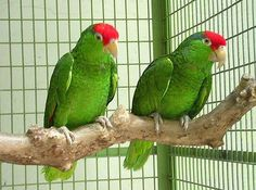 Green Cheeked Amazon Parrots