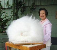 World's fluffiest bunny.<<< This isn't a bunny! It's a giant cotton ball! X'D