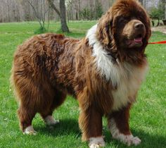 If I were ever to get a newf,  I would want it to be either a bronze like this guy or a brown landseer
