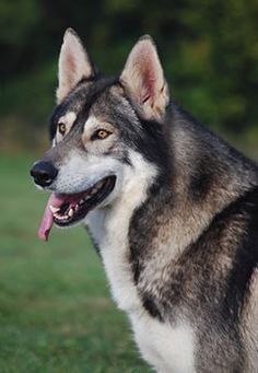 Northern Inuit Dog - Wikipedia