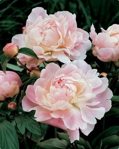 Beautiful Peonies~another of Mom's favorites! David's too! <3