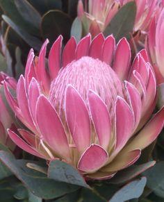 Tropical Plants, Fungi, Garden Plants, Vintage Photos, Safari, Flora, Succulents, Cool Designs, Photographs