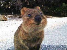 Dueños de una mueca simpática y muy dóciles con el ser humano. Esas son algunas de las característica del quokka, un pequeño marsupial originario de Australia que se ha transformado en el favorito de las redes sociales por ser considerado el animal más feliz del mundo. En internet, son cientos…