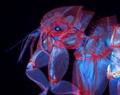 A fluorescent image of flea magnified taken by Duane Harland. It won place in the 2010 Nikon Small World Photomicrography Competition. Fluorescence Microscopy, Nikon Small World, Micro Photography, Popular Photography, Digital Photography, Microscopic Images, Macro And Micro, Fotografia Macro, Insect Art