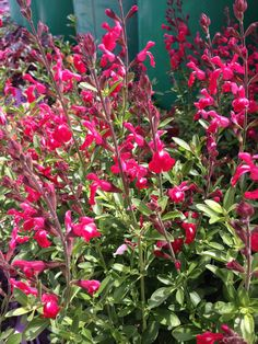 SALVIA bandits red Types Of Flowers, Cut Flowers, Bee Friendly, Sandy Soil, How To Attract Birds, Landscape Plans, Types Of Soil, Salvia, Drought Tolerant