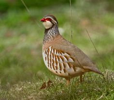 Red-legged Partridge (Alectoris rufa), Hurley, Warwickshire 16Apr12 by Lathers, via Flickr