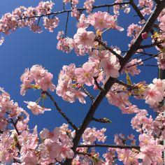 Cherry blossom  Kawazu Sakura