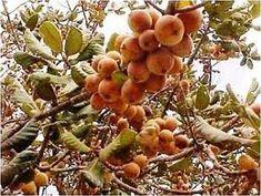 Irei incluir neste tema um grande variedade de frutas angolanas, tanto frutas selvagens das matas de Angola, como frutas tropicais que se cultivam e se consomem nesse território. Em primeiro lug…