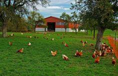 Draußen ist es jetzt zu kalt, ... da würden Hühner nicht sehr alt, auch Würmer gibt es keine mehr, sie freu`n sich auf den Stall dann sehr. :-)