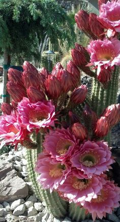 Cactus in bloom Cacti And Succulents, Planting Succulents, Cactus Plants, Planting Flowers, Amazing Flowers, Pink Flowers, Beautiful Flowers, Agaves, Cactus Y Suculentas