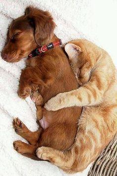 cuddling cat and dog