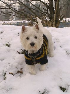 Cute Little Dogs, West Highland White, White Terrier, Westies, Beautiful Dogs, My Friend, Dogs And Puppies, Wonderland, Doodles