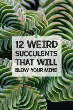 There are hundreds of different types of succulents, it's impossible to keep up! You could spend your life trying to add every kind to your collection. Everyone knows about aloe vera, string of pearls Different Types Of Succulents, Types Of Succulents Plants, Growing Succulents, Succulents In Containers, Cactus Plants, Garden Plants, Plants Indoor, Types Of Aloe Plants, Purple Succulents