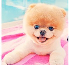 Animals dogs worlds pets pomeranian boo Wallpaper Boo The Cutest Dog, World Cutest Dog, Cutest Dog Ever, Cutest Puppy, Cute Puppies, Cute Dogs, Dogs And Puppies, Baby Animals, Funny Animals