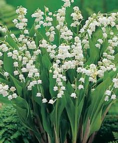 White Chorale Bells, Upon a Slender Stalk, Lily of the Valley Deck My Garden Walk.  Oh Don't You Wish That You Could Hear Them Ring?  That Will Happen Only When The Fairies Sing!