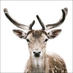 Animal Portraits : Morten Koldby(http://koldby.com/) - ダマジカ(オス)