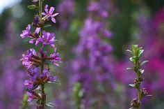purple loosestrife - みそはぎ