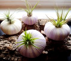 Air Plants in Sea Urchin Shells