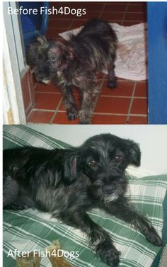 Cassie was found wandering the streets in Swindon.  Possibly a Terrier breed & approx 3-4 years old.  She was taken in by a foster family and was sponsored with Fish4Dogs food.  She was treated for severe skin problems including mange/dermatitis, a chronic ear infection & an eye infection.  Eventually Cassie had an operation on her ear. Luckily Cassie's fosterers decided to make Cassie a permanent member of their family.  Months later & Cassie's coat became thick & glossy .