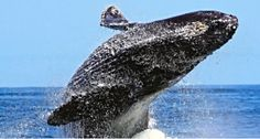 Join Sea Goddess Whale Watching for a 2-3 hour excursion on the Monterey Bay National Marine Sanctuary.