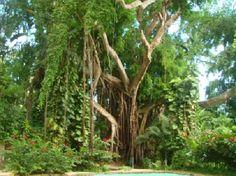 shaw gardens jamaica | Photos A Pleasent Oasis - Shaw Park Gardens & Waterfalls