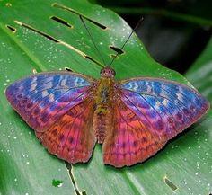 Beautiful fire moth