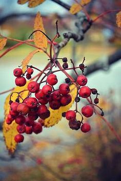 Berries of the Fall