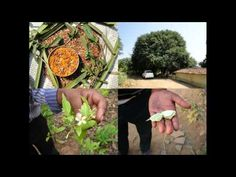 Medicinal Rice P5O Formulations for Paspalum Excess: Pankaj Oudhia's Med...