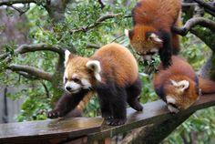 アヤメとスミレ、マリン  Red pandas レッサーパンダ 小熊猫