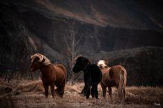 Fotografie Workshop, Icelandic Horse, Horse Pictures, Equine Photography, Camel, Coaching, Beautiful Pictures, Lion Sculpture, Horses