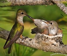 ♥ Hummingbirds  http://www.komar.org/faq/travel/hummingbirds/nest/