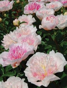 """Peony 'Do Tell'. Paeonia. 36"""" tall. Blooms in May."""