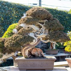 Shimpaku Archives - Bonsai Tonight