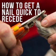 When you allow your dog's nails to grow too long, the quick grows out with the nail. Be careful when you decide to trim those nails to make the quick recede. Trimming overgrown nails may require extra help from your groomer or veterinarian! Dog Grooming Tips, Poodle Grooming, Dog Grooming Business, Dog Tear Stains, Trimming Dog Nails, Cat Nail Clippers, Dog Anxiety, Cat Nails, Trim Nails