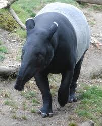 Google Image Result for http://fc09.deviantart.net/fs71/i/2010/267/4/3/malayan_tapir_by_lunagoldeneyes-d2zeht9.jpg